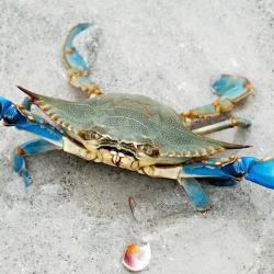 Crabe bleu  - Maryland