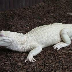 Alligatore albinos