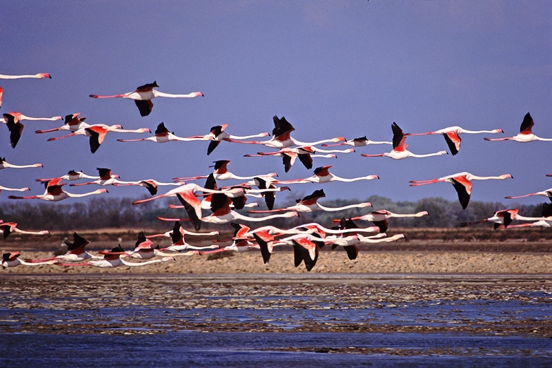 Flamants roses, Réserve Naturelle de Priolo - Sicile