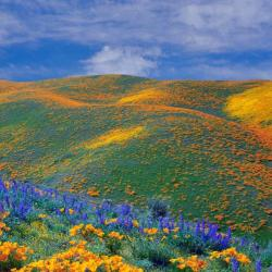 Fiori in primavera, Valle dell'Antelope - California